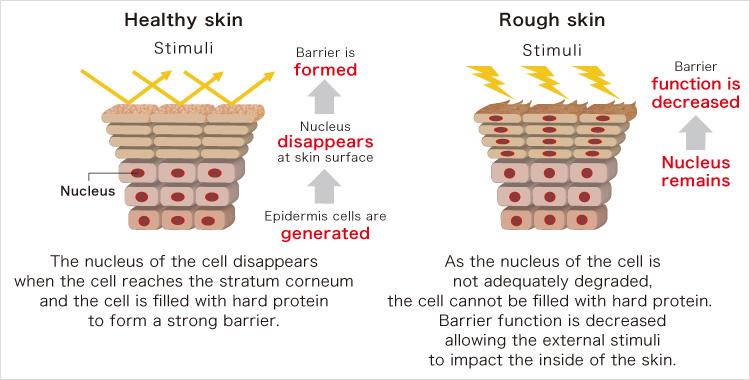 Elucidating the cause of skin barrier function weakening