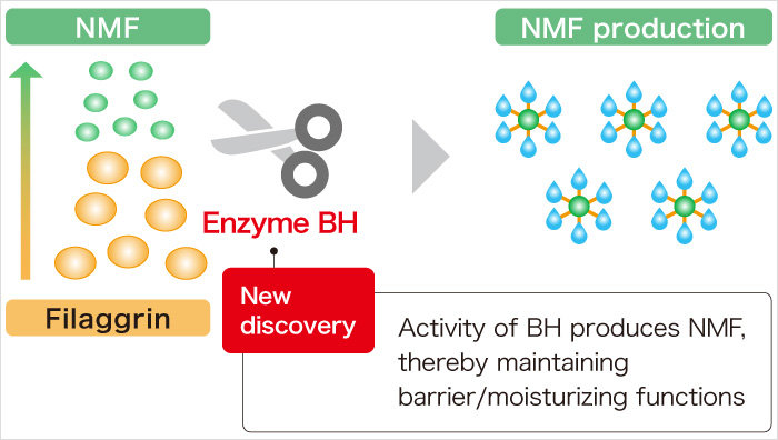 Filaggrin Enzyme BH New discovery Activity of BH produces NMF, thereby maintaining barrier/moisturizing functions NMF production