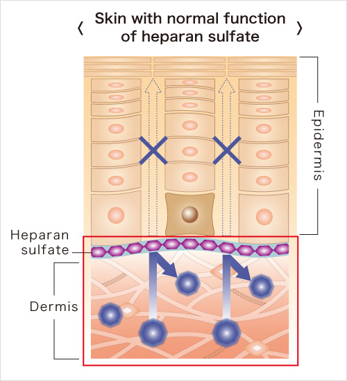 Skin with normal function of heparan sulfate